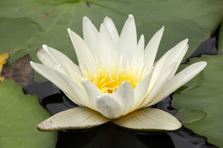 White lotus in the blooming water