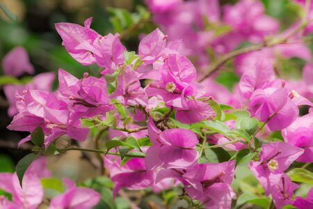 Bougainvillea, pink, bouquet of flowers, axillary or branchEach bouquet has 3 flowers. It is a perennial shrub type.