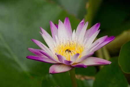 The bees are in the purple lotus bloom, sucking the nectar, pollen. Banco de Imagens