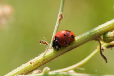 Ladybug on the tree is classified as a scarab Invertebrate There are many types and colors.