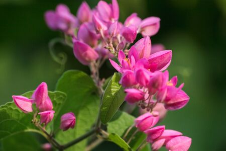 Antigonon leptopus Hook is a beautiful bouquet of flowers.