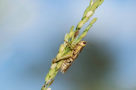 Small grasshoppers on the rice plant in nature
