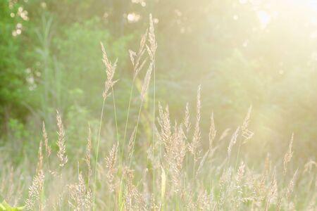La hierba golpea la luz del sol por la mañana.