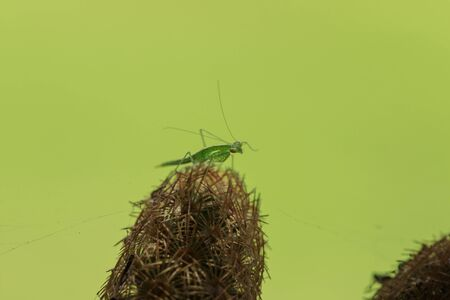 Grasshoppers on the cactus with spikes To hide danger