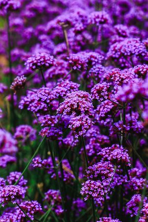 Verbena is blooming and beautiful in the rainy season. Banque d'images