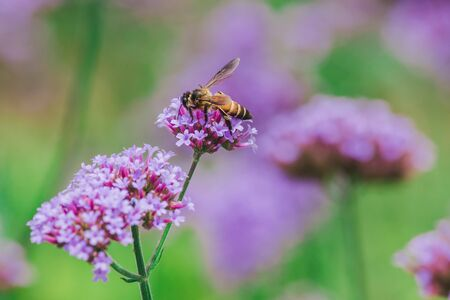 The bee on Verbena is blooming and beautiful in the rainy season. Banque d'images