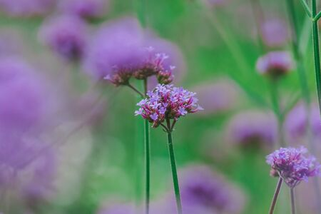 Verbena is blooming and beautiful in the rainy season. Stock Photo