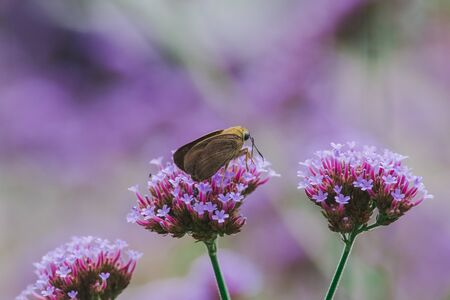 Butterflies on Verbena are blooming and beautiful in the rainy season. Imagens