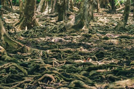 Many tree roots on the mangrove forest are used for adhesion. Stock Photo