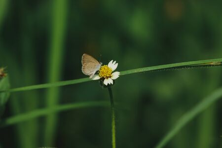 Butterflies are on the coat buttons in nature. This flower is a kind of drought that is well tolerated. Zdjęcie Seryjne