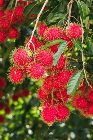 Rambutan on the tree is a sweet fruit That many people like Popular in Thailand