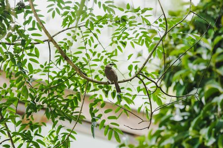 Yellow-vented Bulbul is a small bird. There is a distinctive white face.