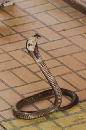 Cobra is on the floor Is a medium sized snake There is one serious poison.