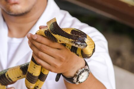 Malayan Krait is on a mans hand. A snake with black and white stripes along the body length. Imagens