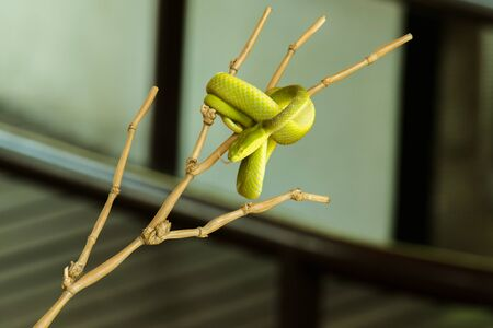 White-lipped Pitviper on the branch Often found in a garden near a persons home