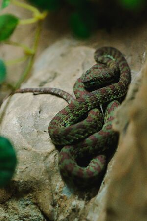 Trimeresurus is a snake in the genus In the family of viperidae (snake), the newly discovered species is phuket pitviper Imagens
