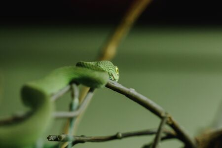 White-lipped Pitviper is a snake that looks for nocturnal activity on the ground. Often live in trees