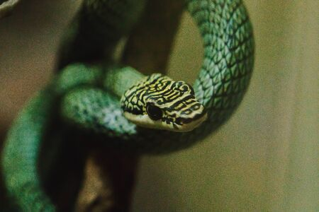 Chrysopelea ornata on a branch is a snake with a slender body. Green-yellow scales, black stripes Imagens