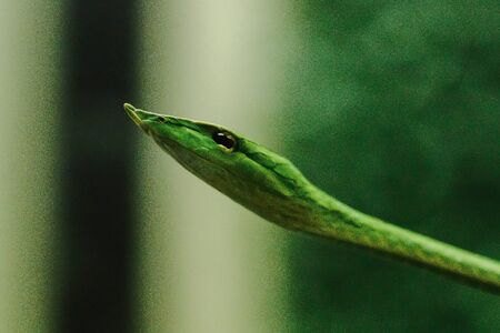 Long-nosed whip snake is a kind of poisonous snake Living most of the tree life