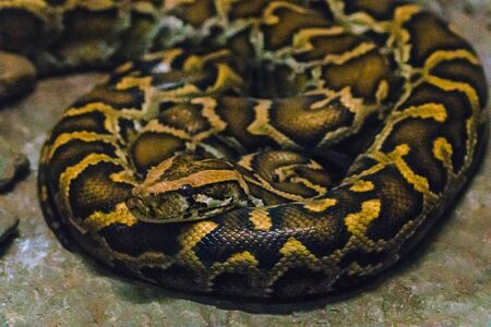 Python bivittatus is a large, poisonous snake, one of the six largest snakes in the world.