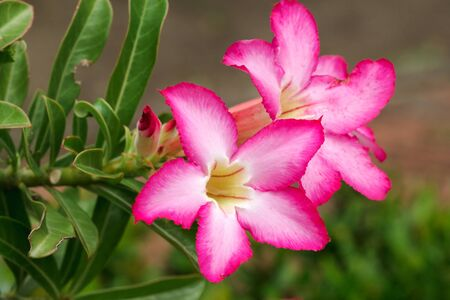 Adenium obesum is classified as an ornamental plant. Very popular