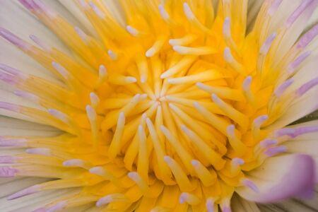 Purple lotus flower blooming in nature Zdjęcie Seryjne