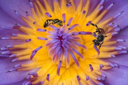 Bee in a purple lotus blossoming in nature