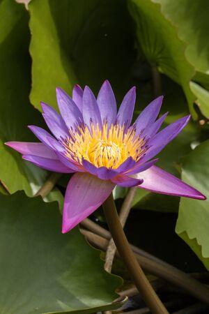 Purple lotus flower blooming in nature Imagens