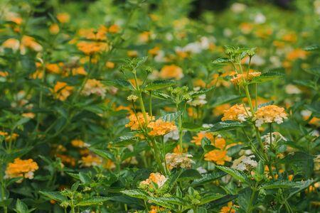Lantana camara is an outdoor flowering plant that has many years of age like sunshine. Imagens
