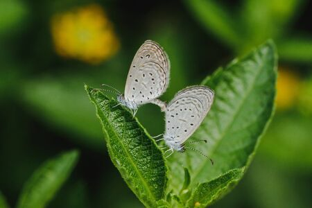 Two lesser grass blue on the leaf