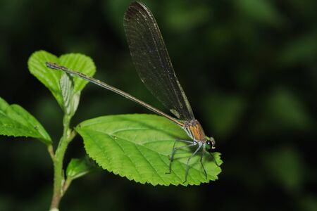 Green dragonfly On the leaves in the natural forest
