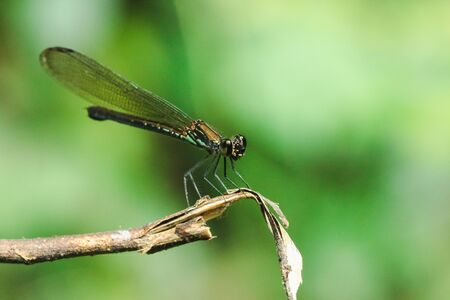Green dragonfly On the branches in the natural forest