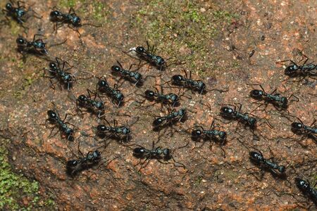Black ant on the ground carrying food into the nest. Stock Photo