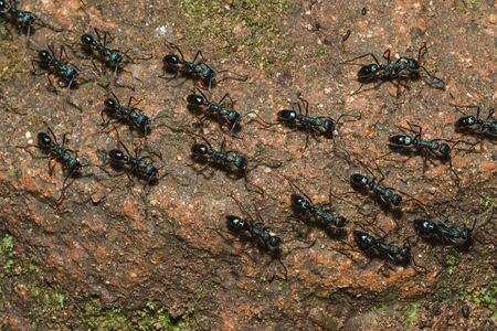 Black ant on the ground carrying food into the nest. Stok Fotoğraf