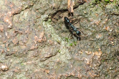 Black ant on the ground looking for food. into the nest.