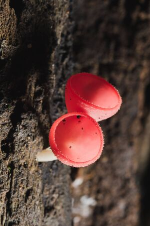The Fungi Cup is orange, pink, red, found on the ground and dead timber.
