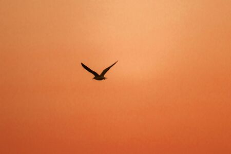Silhouettes of seagulls flying above the sunset. , With a beautiful orange background
