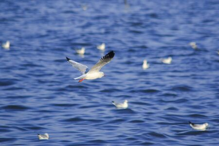 Seagulls flying over the sea, Living together in a large group Is a wetlands bird along the coast