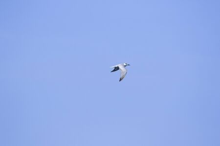 Little tern is flying, Little tern is a small seabird. , Scientific name Sternula albifrons, Little tern is a species of sea birds. Standard-Bild