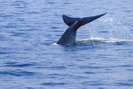 Queue de baleine soulevée, éclaboussures d'eau, queue de baleine Bruda dans la mer, Bruda est une grande baleine Est un mammifère