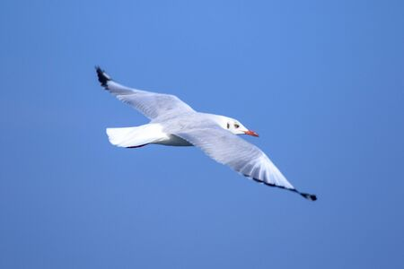 Seagulls flying in the blue sky, Seagulls are seagulls, Seagulls are medium sized birds. The tip of the wing feathers are black. Standard-Bild