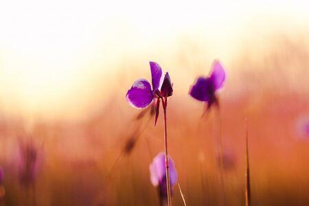 Utricularia delphinioides Ist eine insektenfressende Pflanze aus der Familie der Wong Suoi Wanna Krautige Pflanze Die Blüten sind dunkelviolett.