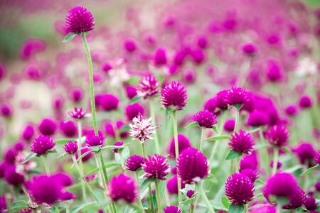 Globe amaranth, purple, beautiful in nature Is a flower that is easily grown
