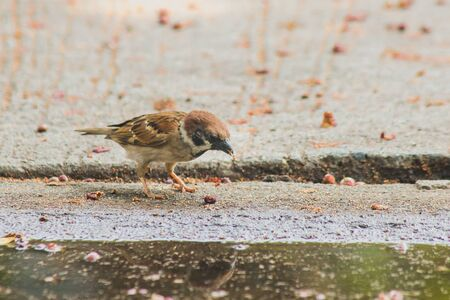 Eurasian Tree Sparrow on the GroundEurasian Tree Sparrow has a dark brown color on the head and back of the neck.White cheeks have black spots on each cheek.