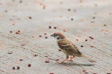 Eurasian Tree Sparrow on the Ground Eurasian Tree Sparrow has a dark brown color on the head and back of the neck. White cheeks have black spots on each cheek.
