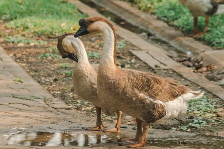 White goose walking on the ground , Geese are animals that are easy to breed and dont get sick. Фото со стока