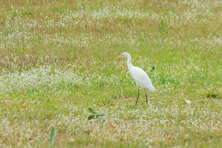The white egret walks on the grass field, the egret is a large bird. , Has all white body and long neck, long mouth, pointed with yellow