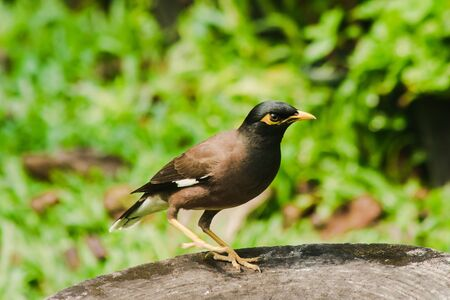 Mynas is on a tree stump, Starlings are a resident bird of Thailand. Фото со стока