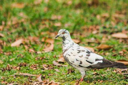White pigeons walking on the lawn, Gray pigeons walking on the lawn