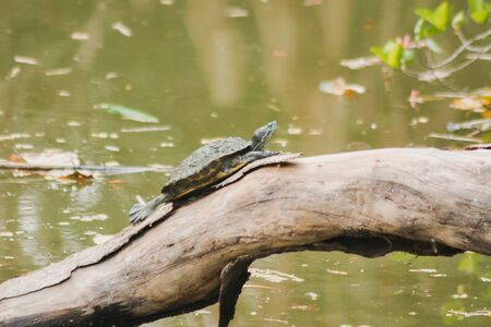 Black turtle on a tree above the water, sun turtles On a dry log